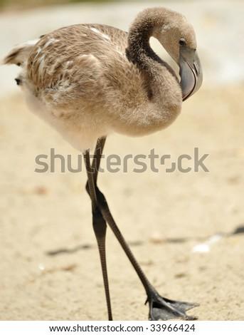 juvenile caribbean flamingo
