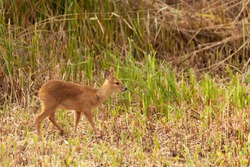 Juvenile chinese water deer walking alone though the reedbed.