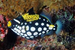Juvenile clown triggerfishes, Blistoides conspicillum, Raja Ampat Indonesia