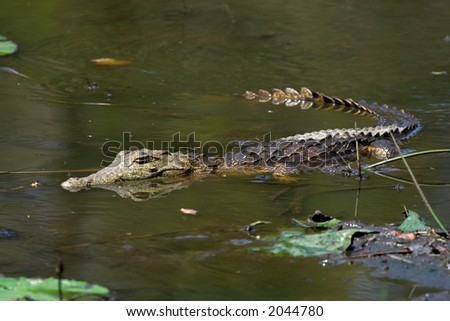 Juvenile Crocodile floating in the water