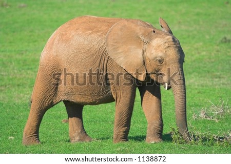Juvenile Elephant on the African grass plains