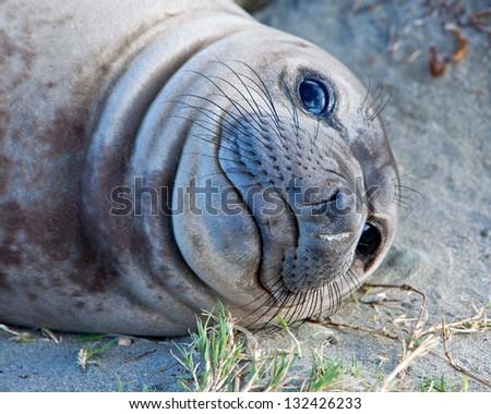 Juvenile elephant seal, San Simeon, California
