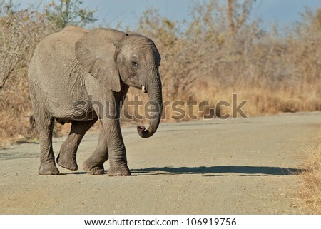 Juvenile elephant, South Africa