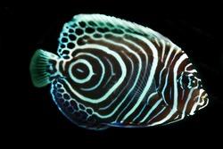 Juvenile Emperor Angel fish(Pomacanthus imperator)  isolated on Black background