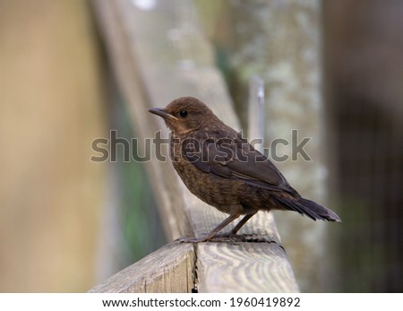 juvenile European robin (Erithacus rubecula) standing wooden fence with a natural woodland background Stock foto ©
