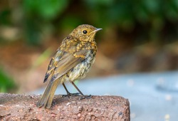 Juvenile European Robin (Erithacus rubecula) stands on brick in Irish garden. Red orange breast color appears after first moult. Side rear view young bird showing wings, blurred background, copy space