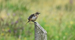 Juvenile female Stonechat perched on a wooden fence post by the coast, Cornwall, UK