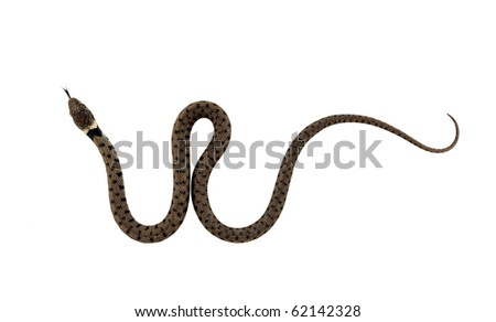 Juvenile grass snake with forked tongue. Isolated on white.