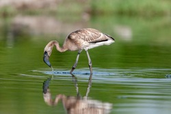 Juvenile Greater Flamingo seen at waterbody near  Jamnagar,Gujarat,India