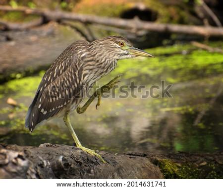 Juvenile green heron displays talons Photo stock ©