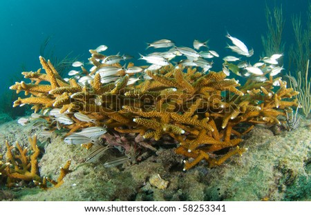 Juvenile Grunts taking shelter in around stands of Staghorn Coral an endangered species.  Picture taken in Broward County, Florida.