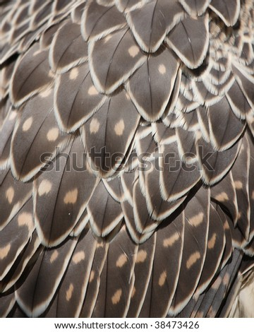 juvenile Gyrfalcon feathers for background