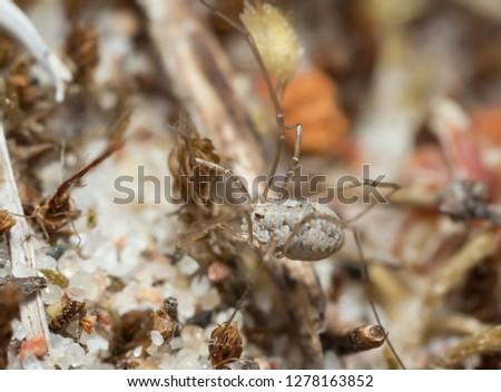 Juvenile harvestman, opilio on sand