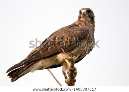 Juvenile hawk perched on branch #1405987517