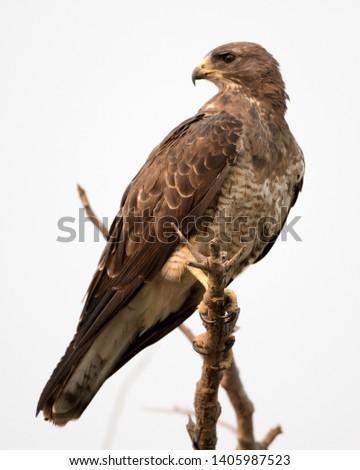 Juvenile hawk perched on branch #1405987523