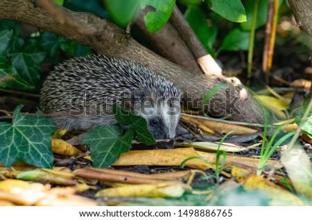 Juvenile hedgehog searching for food #1498886765