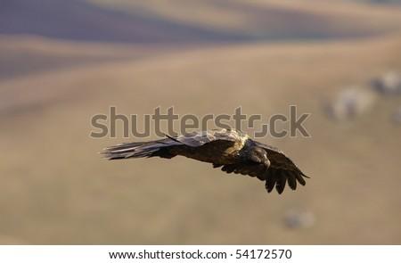 Juvenile Lammergeyer or Bearded Vulture (Gypaetus barbatus) in flight looking for prey in South Africa
