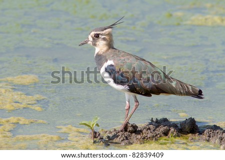Juvenile Lapwing looking for food on the shore - Vanellus vanellus