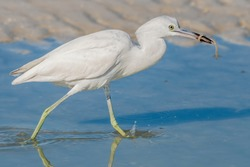Juvenile little blue heron catches breakfast in his bill