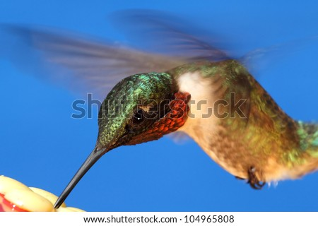 Juvenile male Ruby-throated Hummingbird (archilochus colubris) in flight at a feeder - stock photo