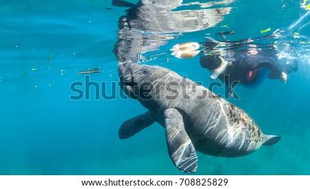 Juvenile manatee swims along side snorkeler