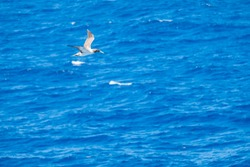 Juvenile Masked Booby Flying Over the Caribbean Sea Looking for Fish