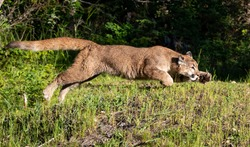 Juvenile Mountain lion cougar panther, puma, cub, feline, big cat. Native to the Americas, its range spans from the Canada to the South America and is the most widespread of North America.