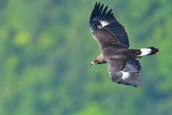 Juvenile of Golden eagle  (Inuwashi) is flying in the green background while barking loudly