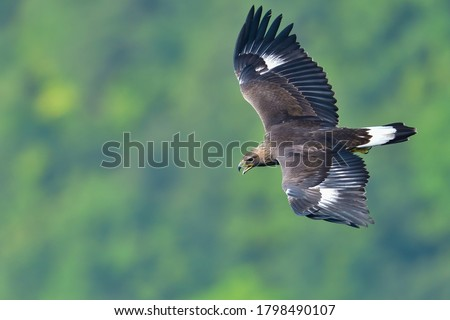 Juvenile of Golden eagle  (Inuwashi) is flying in the green background while barking loudly Stock photo ©