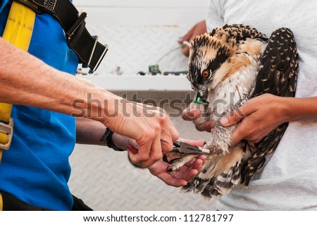 Juvenile Osprey (Pandion haliaetus) Being Banded - Naturalists apply Fish and Wildlife bands on legs of young Osprey for purpose of research