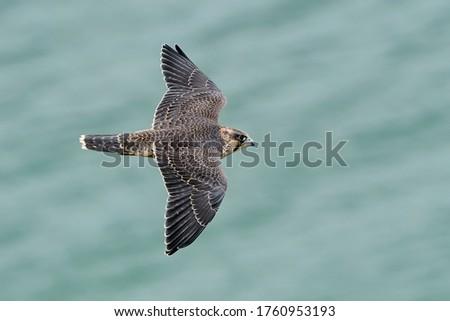Juvenile Peregrine falcon (Falco peregrinus) in its natural habitat at Stevns cliff, Denmark Stock photo ©