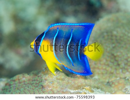 Juvenile Queen Angelfish, picture taken in south east Florida.