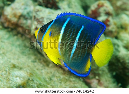 Juvenile Queen Angelfish swimming close to the protection of the reef.