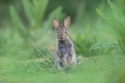 Juvenile rabbit standing tall and curious