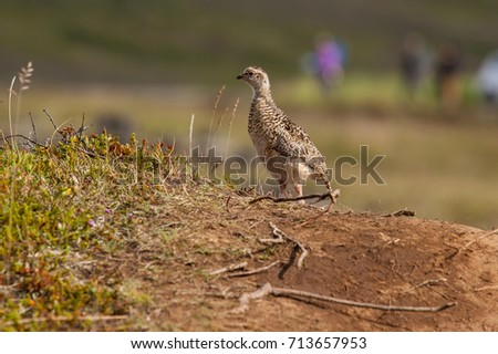Juvenile rock ptarmigan (Lagopus muta) on a small hill in a touristic area of Iceland; in the background the vague contours of visitors #713657953