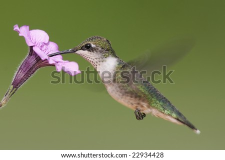 Juvenile Ruby-throated Hummingbird (archilochus colubris) in flight with a pruple flower