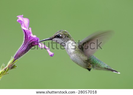 Juvenile Ruby-throated Hummingbird (archilochus colubris) in flight with a purple flower