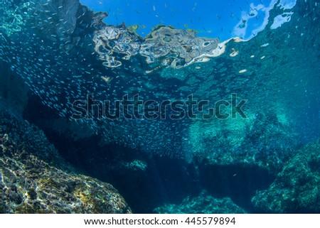 Juvenile sardine #445579894