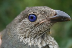 Juvenile Satin Bowerbird. Close up of a blue eye.