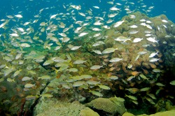 Juvenile schooling grunts and Glassy Sweepers above boulder coral.  Picture taken in Broward County, Florida.