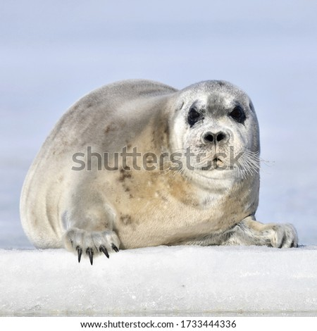 Juvenile seal resting on an ice floe. The bearded seal, also called the square flipper seal. Scientific name: Erignathus barbatus. White sea, Russia
