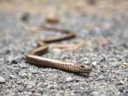 Juvenile slow worm ( Anguis colchica ) in detail. Portrait of eastern slow worm - the lizard often confuse for snake. Shallow focus to animal eye