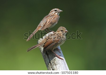 Juvenile Song Sparrow (Melospiza melodia) with adult on a branch with a green background - stock photo