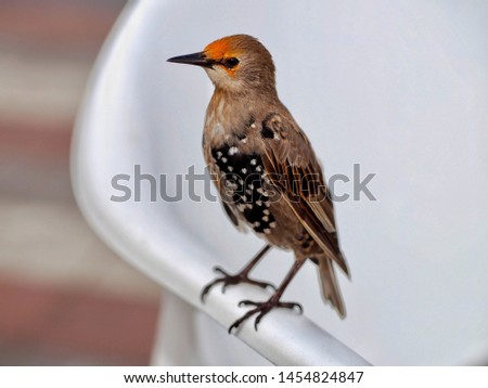 Juvenile Starling Perched on a Chair #1454824847
