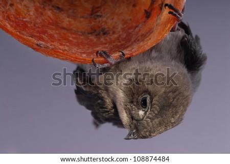 Juvenile swift-let on the nest. - stock photo