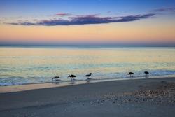 Juvenile White ibis birds Eudocimus albus forage for food at sunrise over North Gulf Shore Beach along the coastline of Naples, Florida