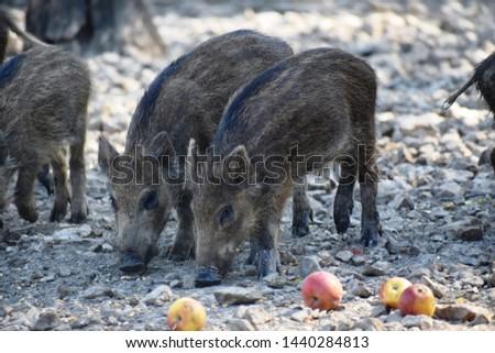 Juvenile wild boar - wild swine - wild pig #1440284813