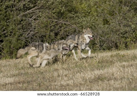 Juvenile Wolves on the run