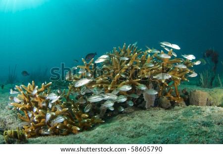 Juvenille Fish hiding in around a small stand of Staghorn Coral, picture taken in Broward County, Florida
