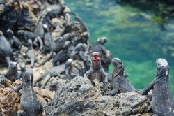 Juvinile marine Iguanas after a feed in the waters of the Galapagos islands